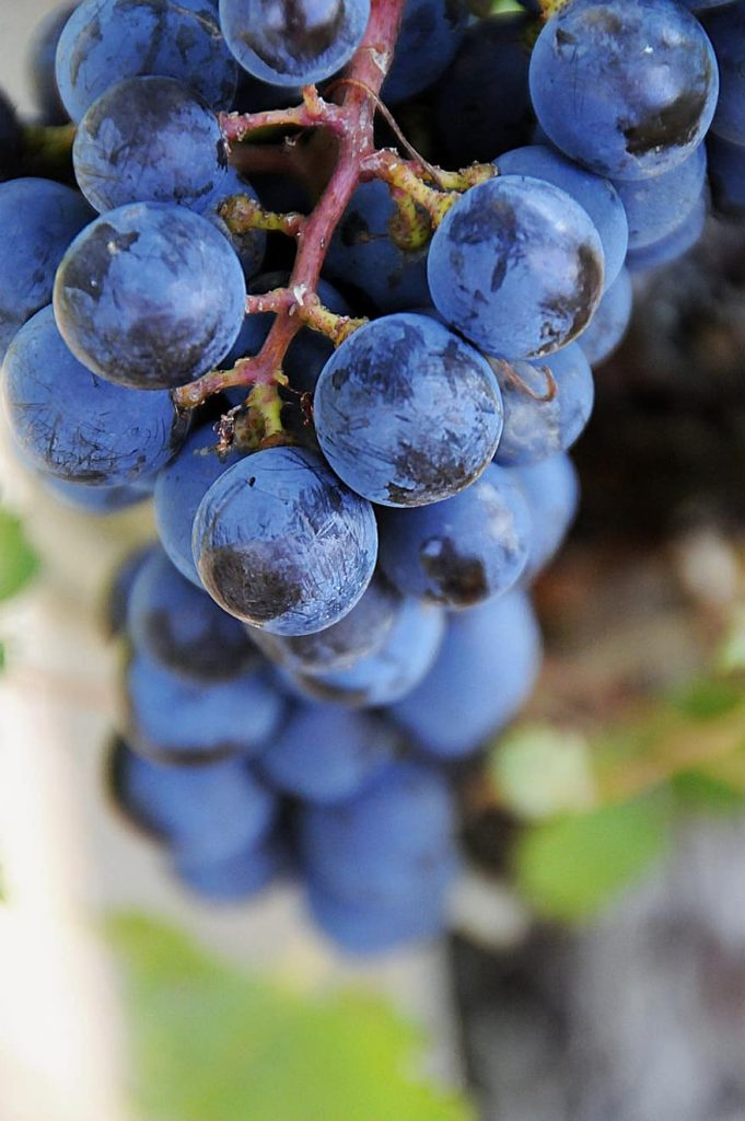Xinomavro Grapes are blue in color and a good option for vines
