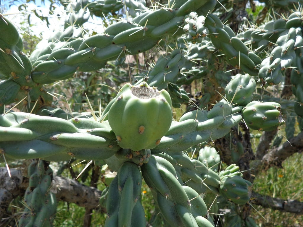 Xoconostle is the fruit of a spiky cactus, one of the foods that start with X
