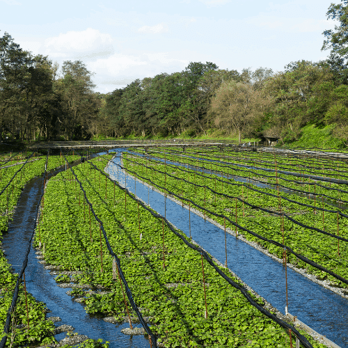 Water canals on a wasabi farm